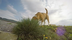 Camera creeps up to the beagle, while he's sniffing for something in the grass - stock footage