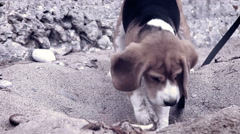 Curious beagle puppy laboriously digs something up from the sand - stock footage