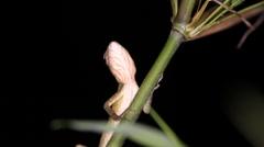 Oriental garden lizard Calotes versicolor Stock Footage