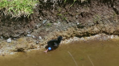 Baby pukeko (purple swamphen) walking in water Stock Footage