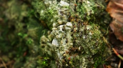Swarm of Hospitalitermes termites, out on a Lichen Harvesting Expedition Stock Footage
