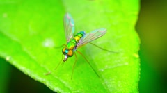 Closeup of a Predatory Long Legged Fly Eating Another Insect Stock Footage