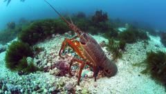 Large packhorse crayfish (spiny lobster) on ocean floor Stock Footage