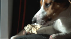 Jack Russell Terrier lies nibbles at stick Stock Footage