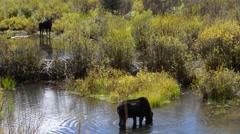 Moose Feeding in the Conundrum Creek Colorado Stock Footage