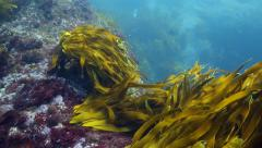 Bull kelp seaweed moving in current underwater Stock Footage