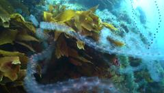 Chain of salps (plankton) tangled around kelp and moving in current - stock footage