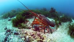 Large packhorse crayfish (spiny lobster) on ocean floor - stock footage