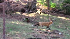 Red Fox in the woods Stock Footage