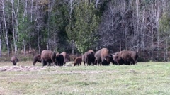 A herd of American Field Buffalo grazing Stock Footage