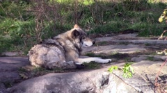 Resting timber wolf Stock Footage