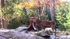 Wapiti feeding on a salt lick in the forest - stock footage