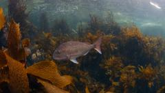 Snapper fish swimming over kelp Stock Footage