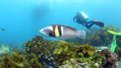 Stock Video Footage of Male sandager's wrasse and scuba divers underwater