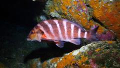 Red moki fish resting underwater Stock Footage