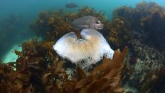 Snapper fish curious about jellyfish Stock Footage