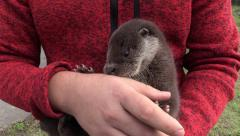 Captive european otter (Lutra lutra) in hands - no color grading - stock footage