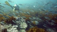 Scuba diving through school of Jack mackerel fish underwater Stock Footage