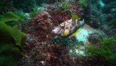Stock Video Footage of Leatherjacket (Meuschenia scaber) fish feeding underwater