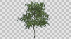 Stock Video Footage of Orange Tree Small Thin Tree Cut of Chroma Key Tree on Alfa Channel Tree is