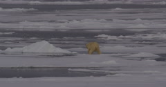 Polar Bear Makes Its Way Across the Thin Sea Ice Stock Footage