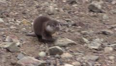European otter (Lutra lutra) on river bank - no color grading Stock Footage