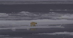 Polar Bear Walks to Test Ice Edge Before Diving in to Swim Arkistovideo