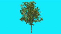 Orange Thin Tree Fruits on Chroma Key Blue Screen Tree Swaying at the Wind - stock footage