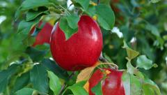 Red ripe delicious apples. Stock Footage