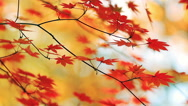 Stock Video Footage of Branch of colorful autumn leaves.