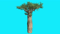 Madagascan Baobab Thick Tree on Chroma Key Blue Screen Upper Branches Swaying Stock Footage