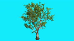 London Plane Tree on Chroma Key Blue Screen Tree is Swaying at the Wind Stock Footage