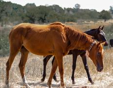 Brown young stallion is seen behind the Red Mare - stock photo