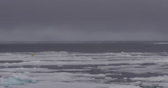 Wide - Polar bear walking along pack ice in Arctic Stock Footage