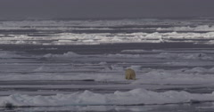 Wild Polar Bear crosses water in arctic ice pack Arkistovideo