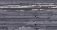 Lone Polar Bear Walks Across Sea Ice Stock Footage