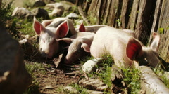 Pig resting in nature Stock Footage