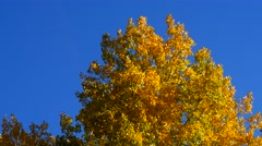 Yellow Golden Aspen leaves against deep blue sky, 4K - stock footage