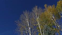 Yellow Aspen leaves against deep blue sky, Dutch,4K - stock footage
