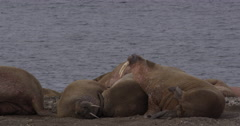 Atlantic Walrus Scratches an Itch with Its flippers Stock Footage