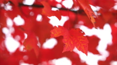 Bright red autumn leaves gently moving in the wind Stock Footage