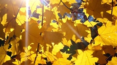Stock Video Footage of sun shining through yellow fall leaves