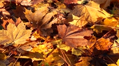 Stock Video Footage of maple leaves falls down on ground in autumn