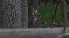 Stock Video Footage of Buck with antlers behind tree in forest