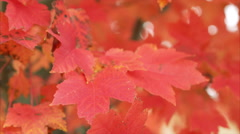 Tight shot of Beautiful Red Fall Leaves on Tree Stock Footage