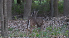 Two deer in the woods static shot Stock Footage