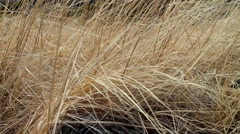 Dry last years grass shivering in wind. Symbol of forgotten old women Stock Footage