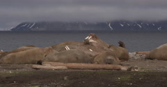 Pan of walrus herd on Sandy Arctic Beach Stock Footage