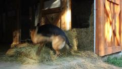 Dog playing in barn - stock footage