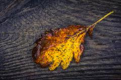 Autumn leaf in yellow and brown color Stock Photos